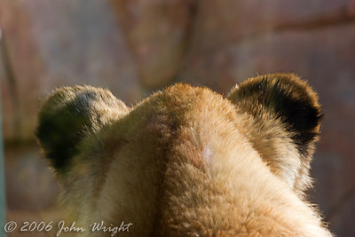 The back of a Lion Cub head...