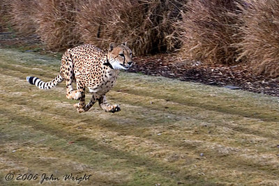 Another shot of the female Cheetah...