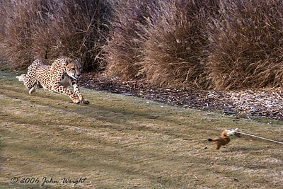 The Cheetah pursuing the lure...