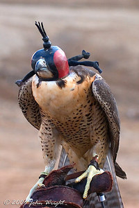 Falcon hooded and on the glove...