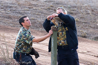 Mike and Shannon unhooding the Barbary Falcon for the free-flight demo...