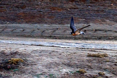 Barbary falcon making a run at the lure during flight demonstration