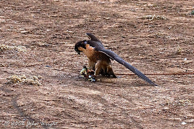 Falcon on the lure...