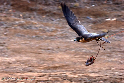 Falcon taking the lure during flight demonstration