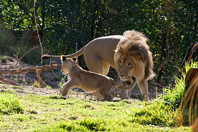 Izu chasing one of the cubs...