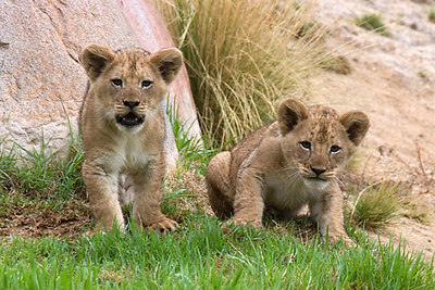 What's that big white thing he's pointing at us?  Cubs Abena and Bakari.  The keepers have determined that both cubs are female...