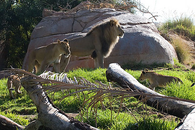 The staff have introduced the cubs to their father, Izu, and the entire pride is now on exhibit together.  There is a lot of interplay between Izu and the cubs and lots of play between Oshana and Izu.  The following images shot 9/23/06.