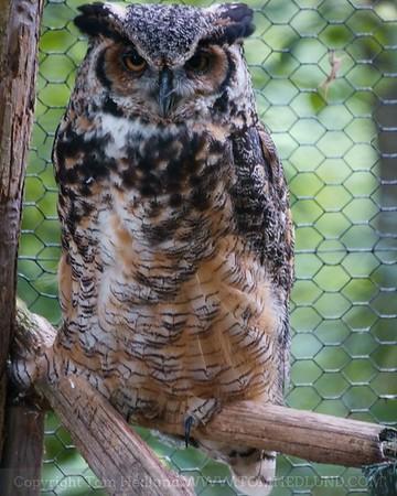 6-15-2009 Great horned Owl