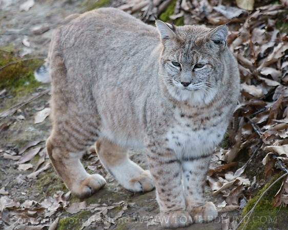 Adult bobcat posing for the camera