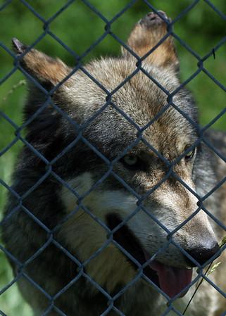 Wolf Park 8 2008