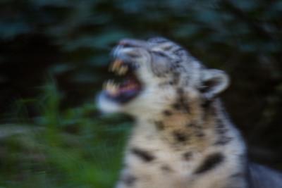 Snow Leopard - abstract (i.e. didn't lock focus)