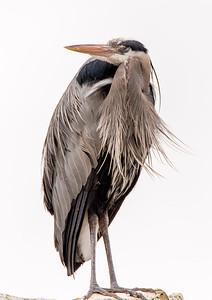 GBH (Great Blue Heron)