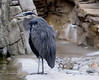 A Blue Heron waits by the Penguin exhibit hoping for an easy meal !