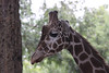 Giraffe - a pensive moment ?