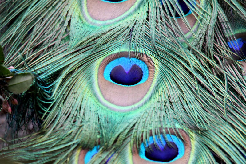 The Peacock's train feathers