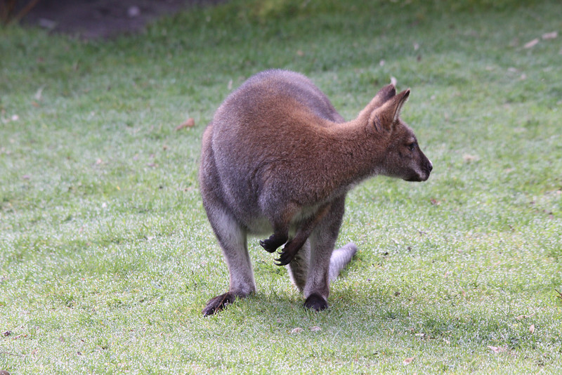 Rednecked Wallaby