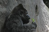 The master of the Gorilla group finds a shady place for a snack