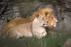 Lion and lioness - a peaceful morning..