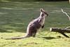 Common Wallaroo