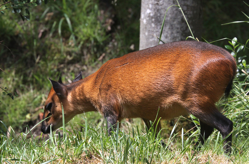 Red Flanked Duiker