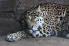 The Jaguar takes a nap - oblivious to the children outside his enclosure.
