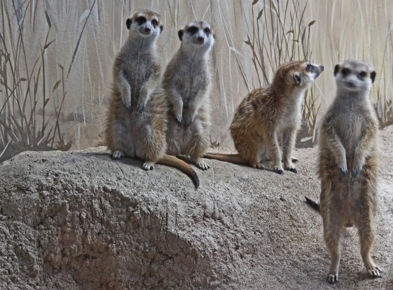 Meerkats watching the watchers...