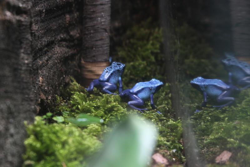 Poison Dart Frogs see their own reflection.