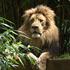 Lion Luke enjoys the sunshine.