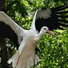 White Stork has black trim.
