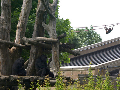 Western Lowland Gorilla's in foreground pay no heed to the Orangutan on the ropes behind them.