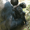 Five month old gorilla Kibibi tries a little solid food.