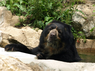 Spectacled bear Nikki enjoys a dip in the pool on a hot summer's day.