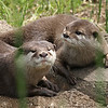 Six male and two female Asian small-clawed otters live at the zoo. The humans don't let the boys and girls mix so when only two otters are basking in the sun you know they are the girls.