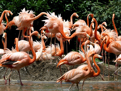 Flamingos in a frenzy. Aren't they always?