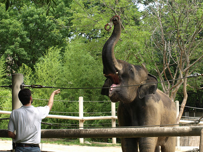 Kandula, the youngest Asian Elephant at the zoo, demonstrates his trunk's dexterity.