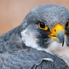 Peregrine Falcon.  According to the site, this bird used to work for the Air Force at Scott AFB, IL as part of the Bird Air Strike Hazard program that keeps nesting birds off the airfield.  Unfortunately he was injured when he hit a fence while chasing another bird.
