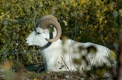 Yukon Wildlife Park - Dall Sheep (thru fence) Takhini Hot Springs Road @ J-3.6miles, Yukon Highway 2 (North Klondike Highway)