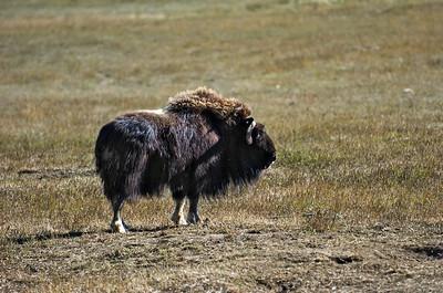 Yukon Wildlife Park - Musk Ox Takhini Hot Springs Road @ J-3.6miles, Yukon Highway 2 (North Klondike Highway)