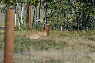 Yukon Wildlife Park - Elk (thru fence) Takhini Hot Springs Road @ J-3.6miles, Yukon Highway 2 (North Klondike Highway)