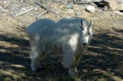 Yukon Wildlife Park - Mountain Goat Takhini Hot Springs Road @ J-3.6miles, Yukon Highway 2 (North Klondike Highway)