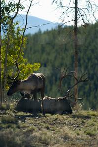 Yukon Wildlife Park - Cariboo (thru fence) Takhini Hot Springs Road @ J-3.6miles, Yukon Highway 2 (North Klondike Highway)