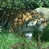Emerging Tiger.