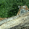 Peering Tiger