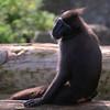 Jedward Macaque