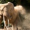 Afrikaanse olifant die zich met zand bedekt / African elephant covering himself in sand (Zoo de Bâle, Basel)