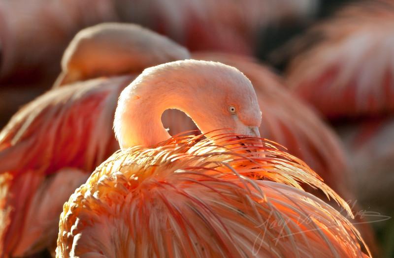 Chileense flamingo die zijn verenpak poetst in de herfst-zon / Chilinean flamingo cleaning his feathers in the autumn sun (Dierenpark Amersfoort)