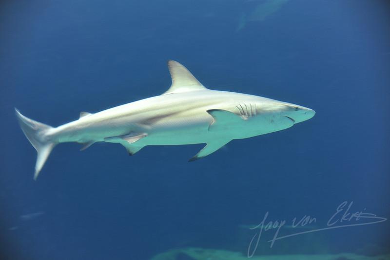 Blacktip shark (Burgers Zoo, Arnhem)