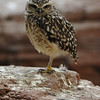 Burrowing owl standing on one leg (Artis, Amsterdam)