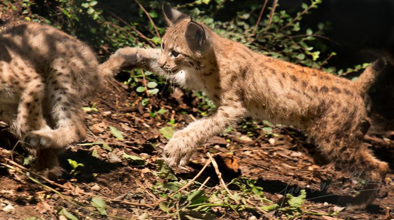 Twee Lynx-jongen die elkaar achtervolgen / Two Lynx kittens chasing each other (Alpenzoo, Innsbruck)