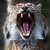 Gapende Lynx / Yawning Lynx